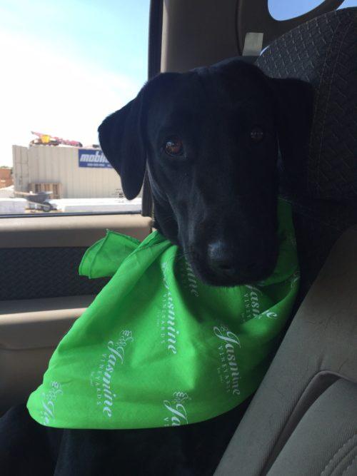 Lola sporting a Jasmine Vineyards bandana!