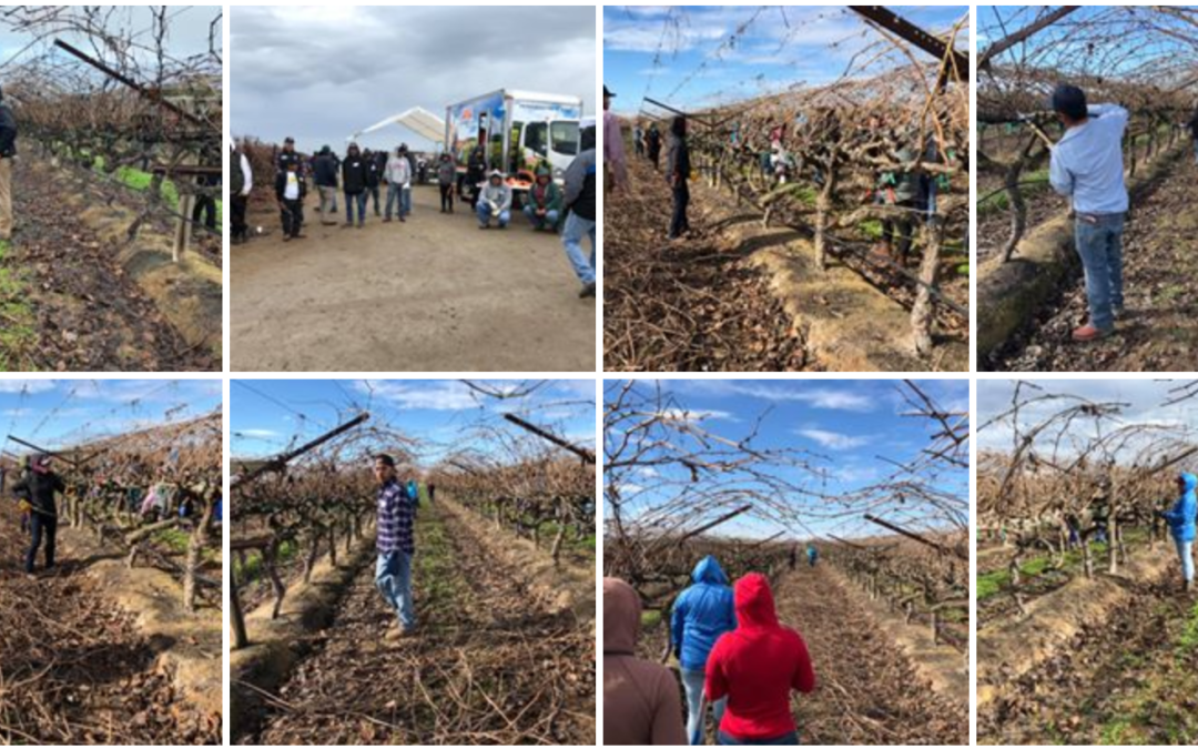 Central Valley Pruning Contest Honors Vineyard Workers